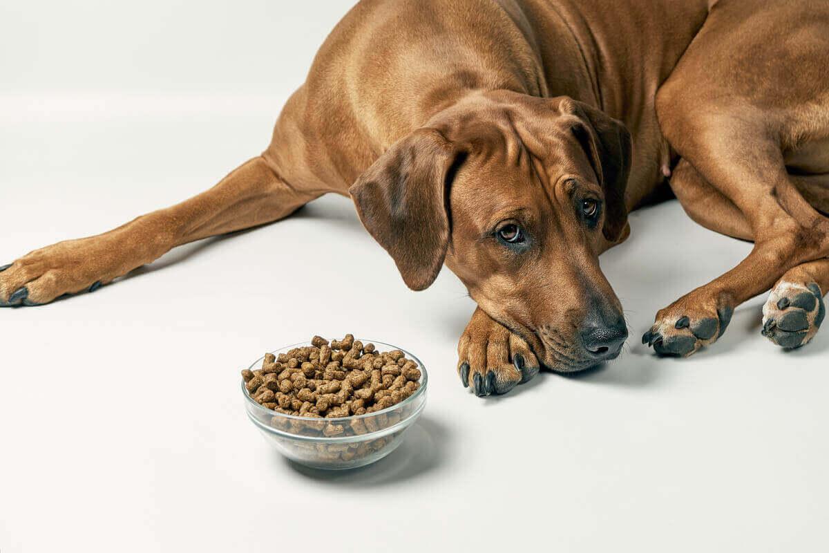 En brun hund som ligger ved siden av en full bolle med mat og ser trist ut