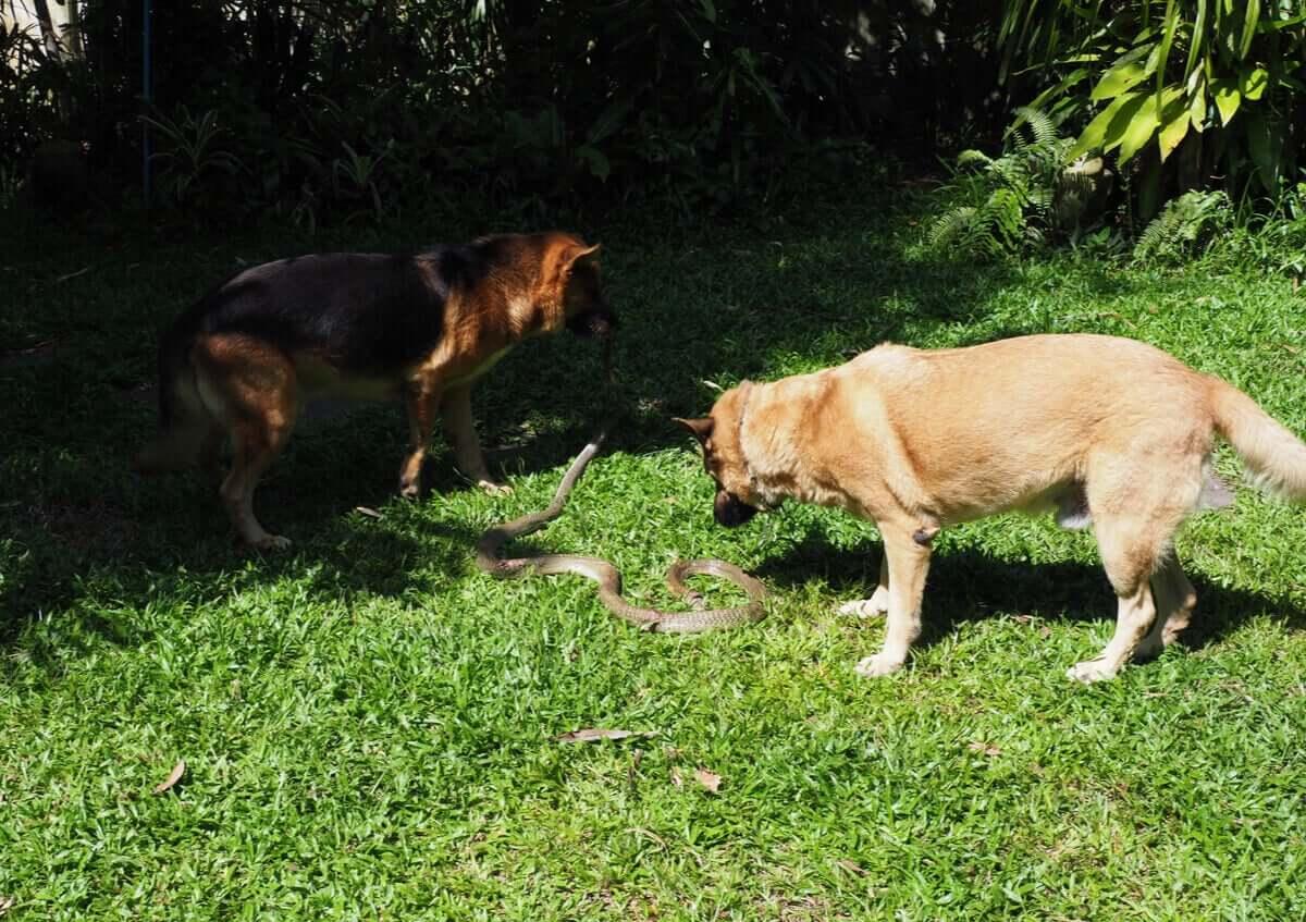 Hunder leker med en slange