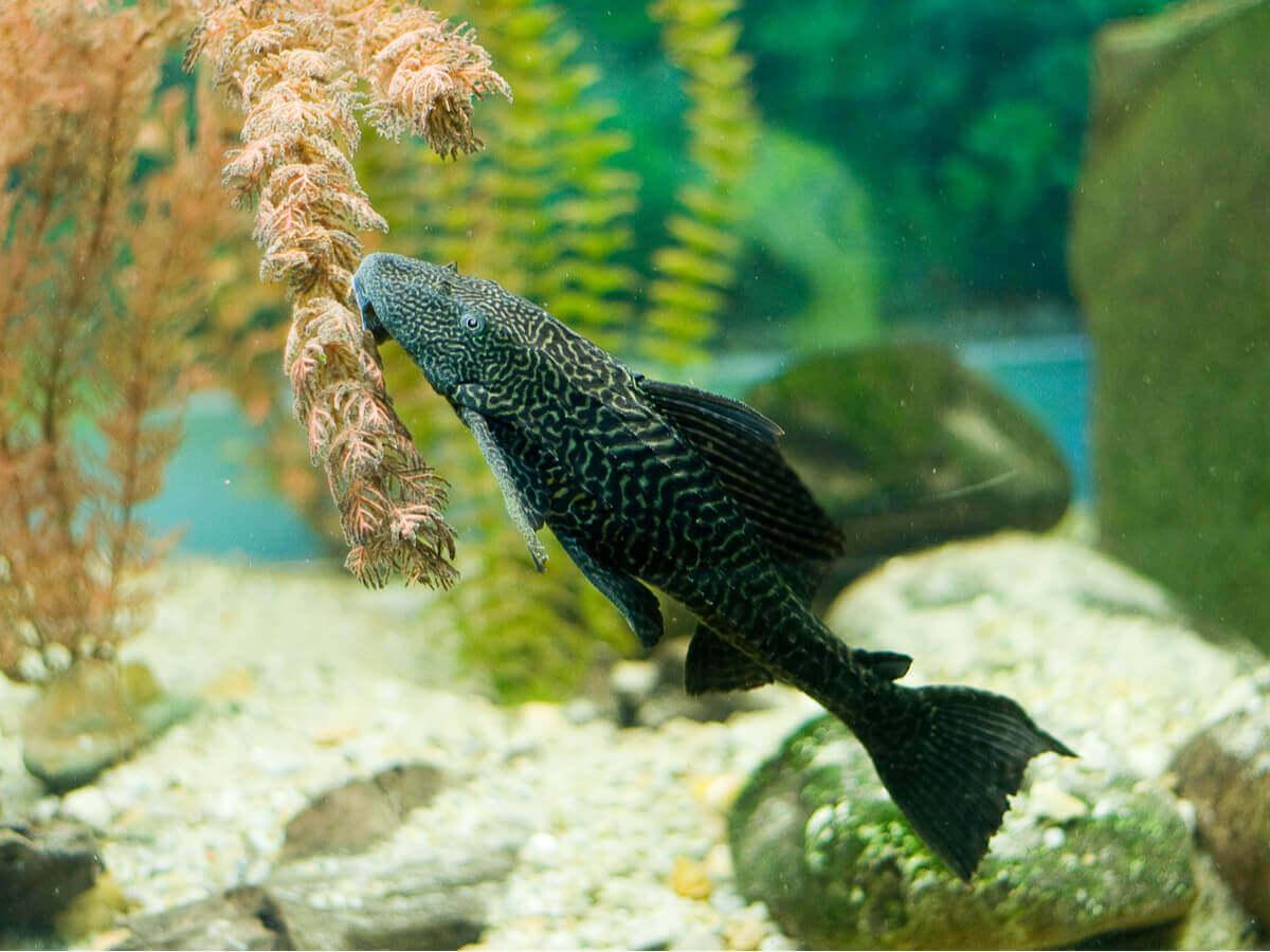 Harniskmallen er en av de naturlige akvariumrensere