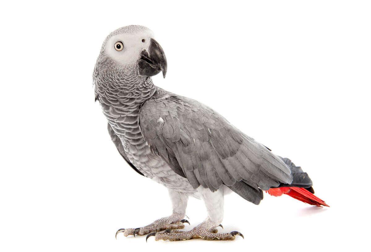 En grå jako på en hvit bakgrunn