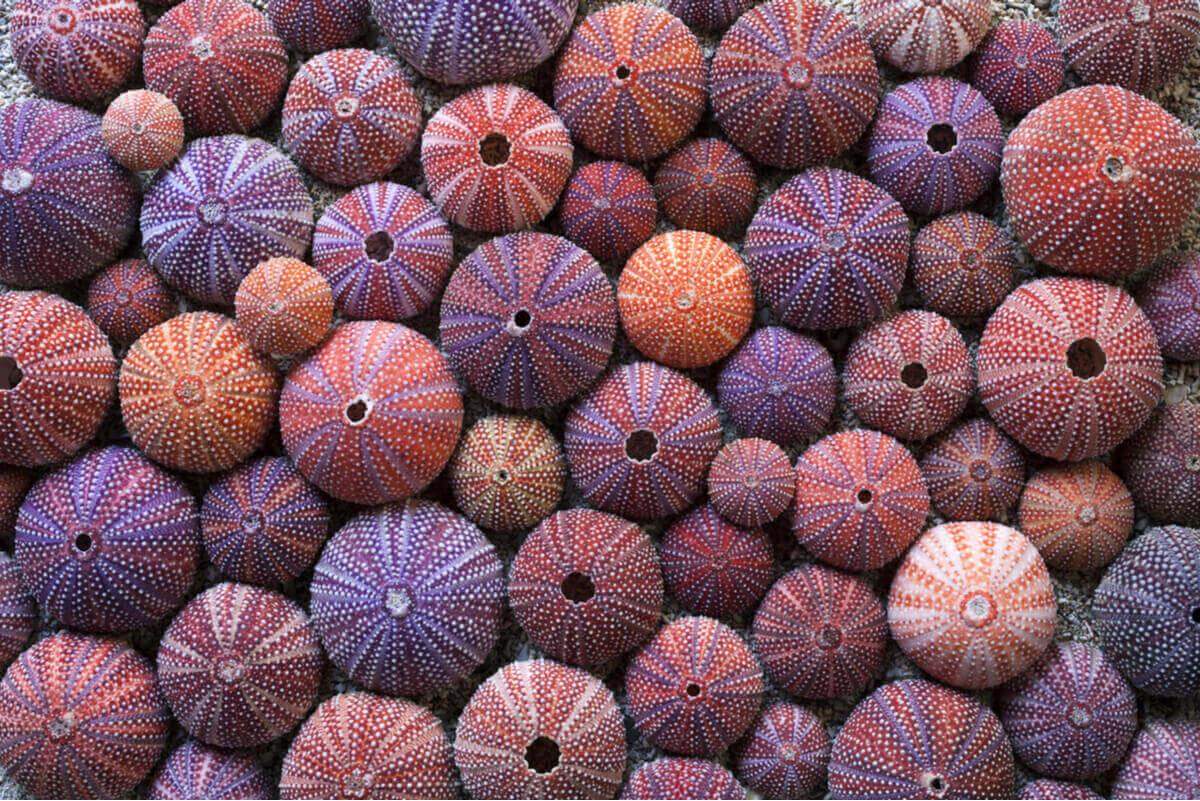 En stor gruppe fargerike kråkeboller med røde, lilla, oransje og hvite striper