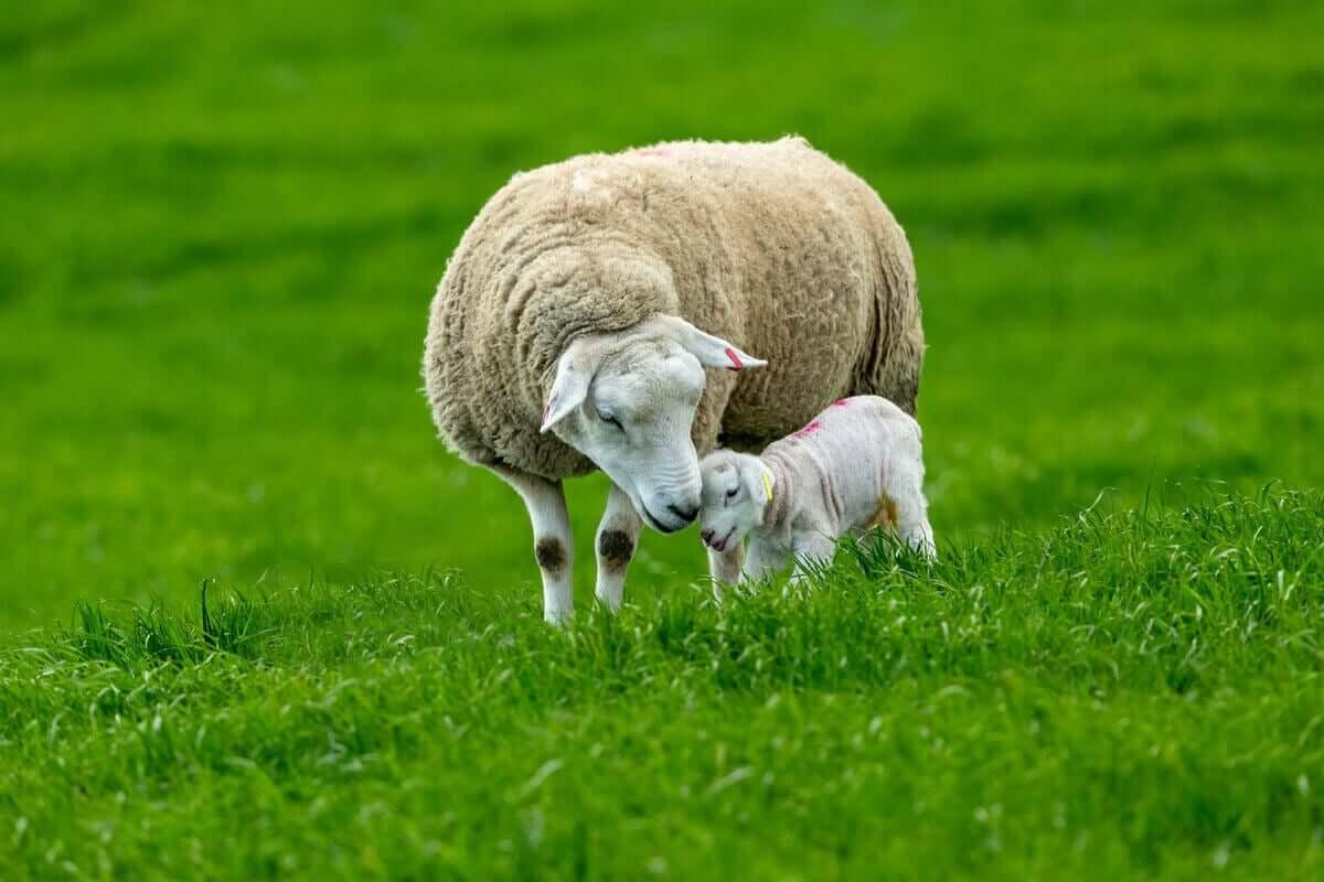 En lykkelig sau med et lam
