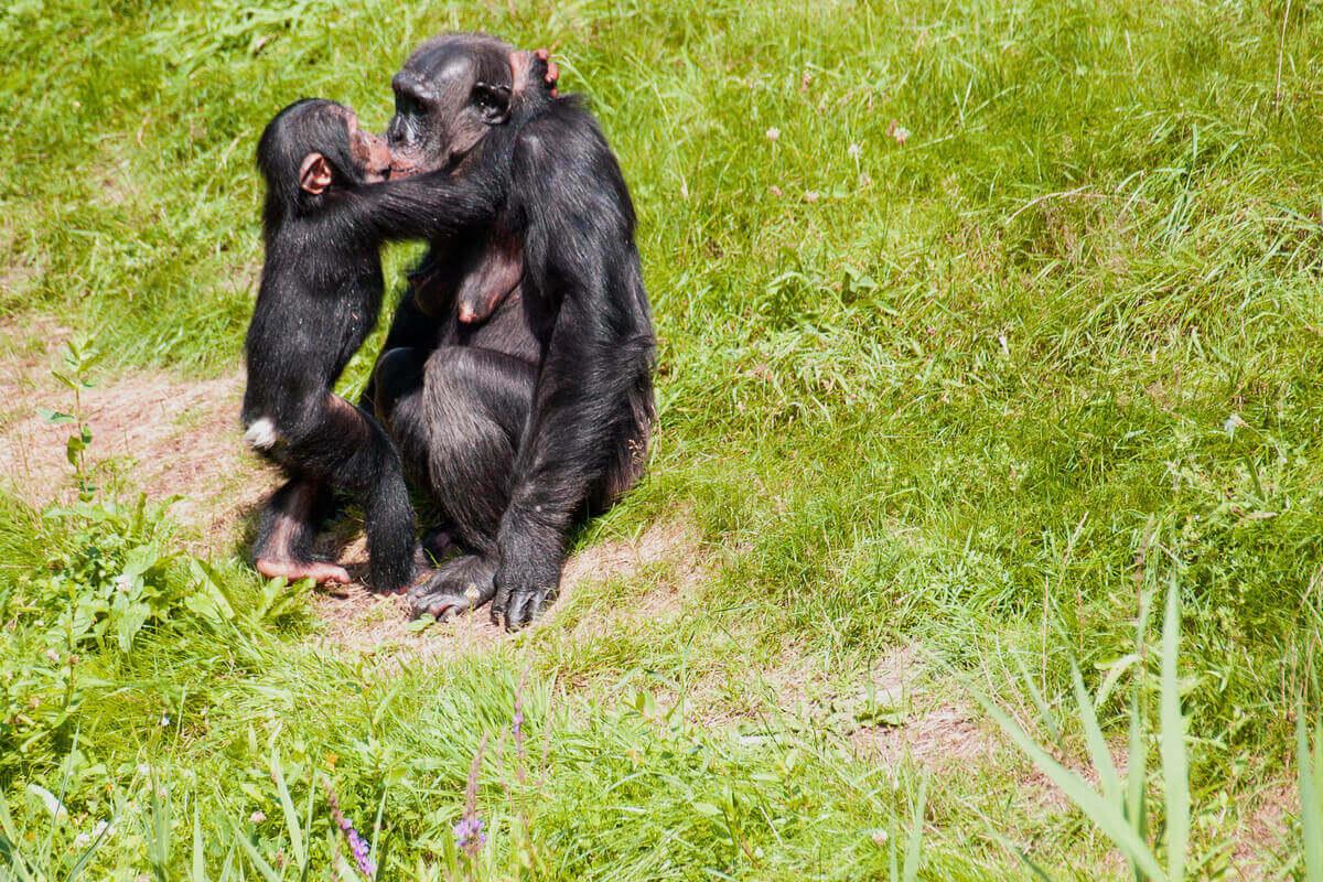 Et kyss mellom en sjimpanse og dens unge