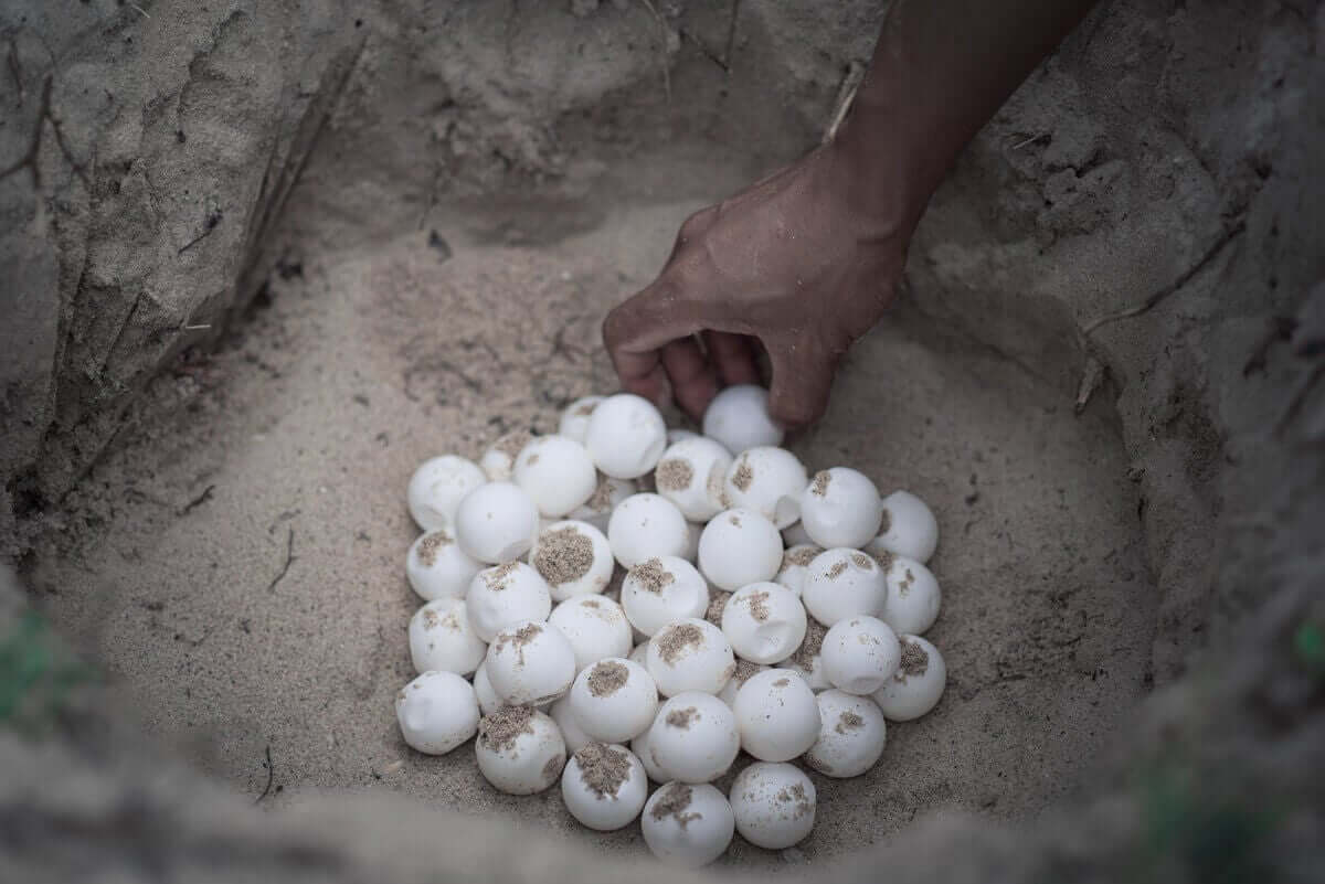 Begravde havskilpaddeegg