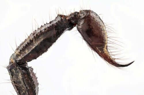 En skorpionbrodd
