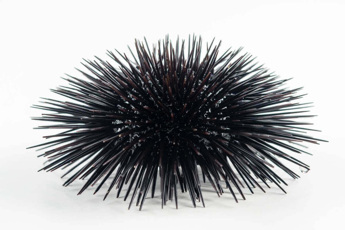 En svart og veldig stikkende kråkebolle.