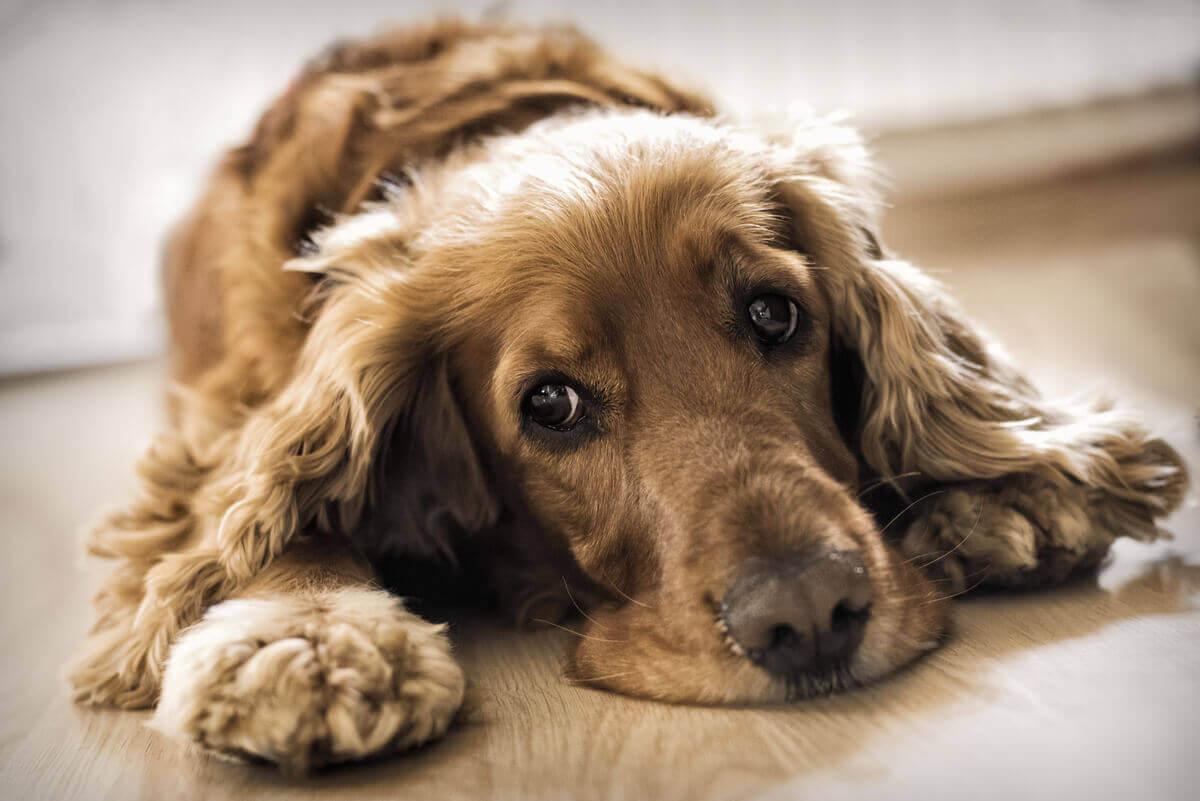 En hund med et trist blikk på gulvet