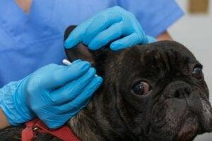 Hva er årsakene til ekstern otitt hos hunder?