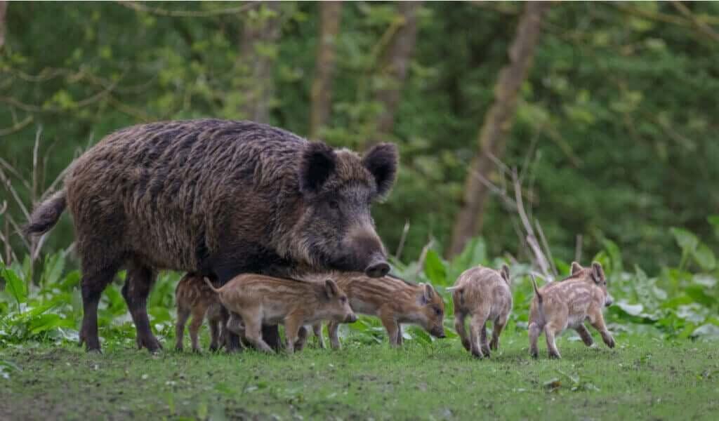 Har pseudorabies betydning for villsvin eller bare for griser?