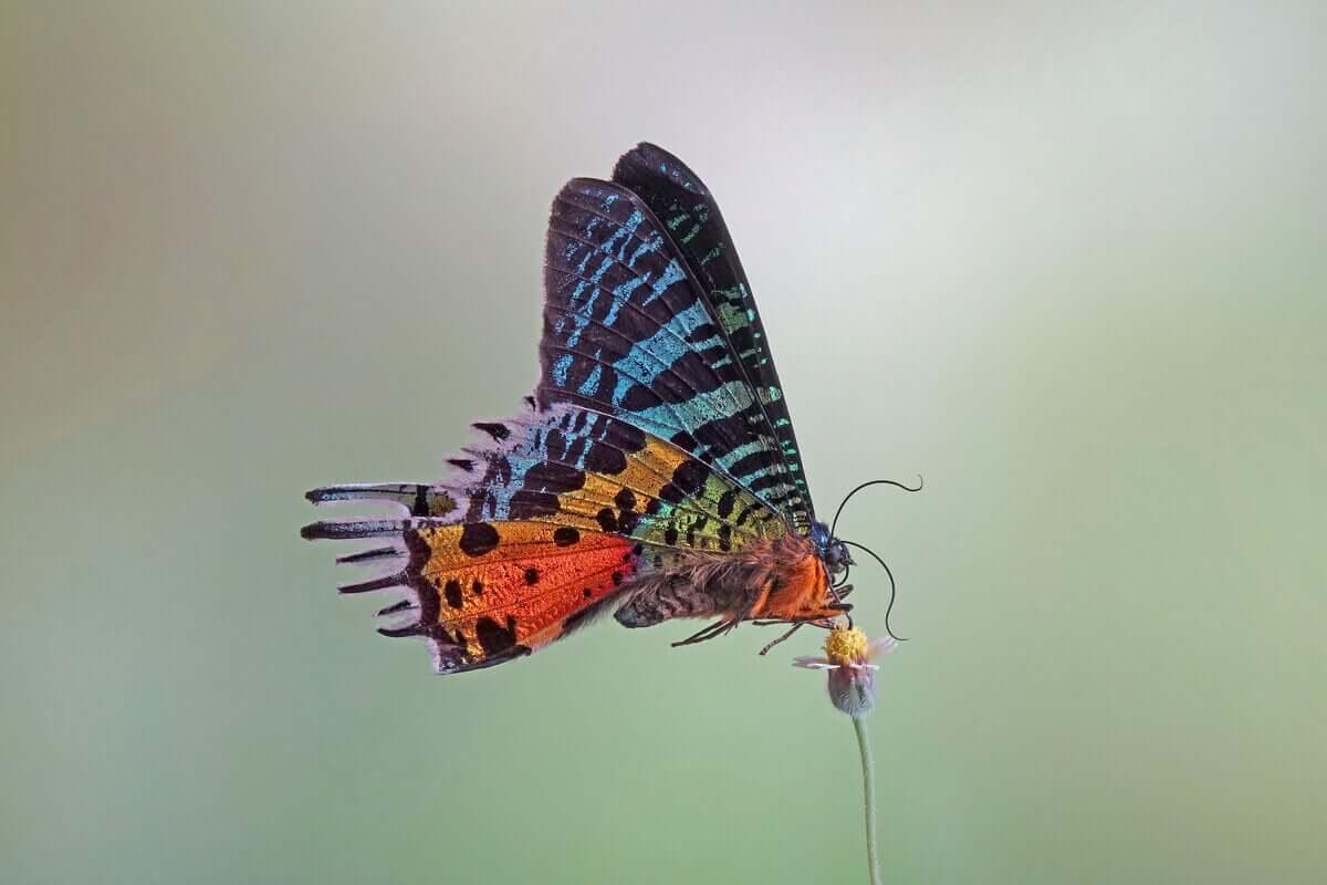 En regnbuefarget sommerfugl med svarte flekker