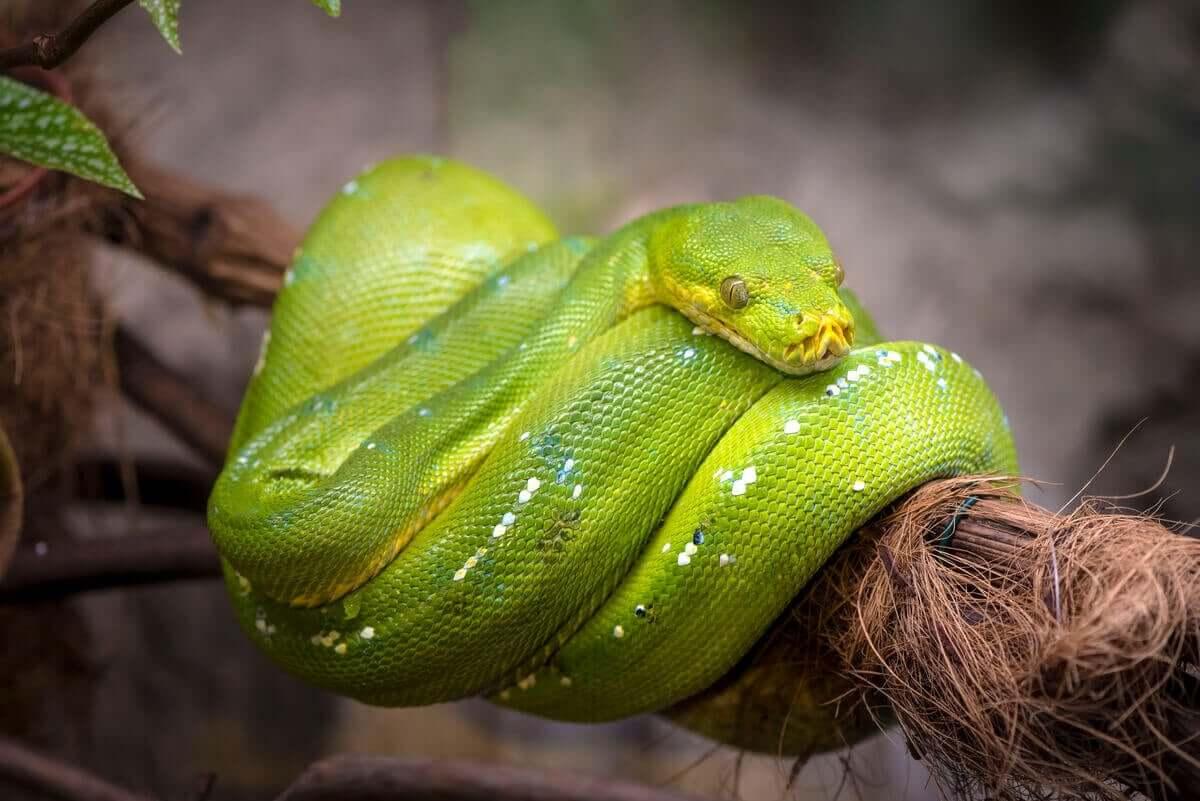 En grønn slange pakket rundt en gren