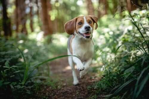 Hvilke er de vanligste sykdommene hos beagler?