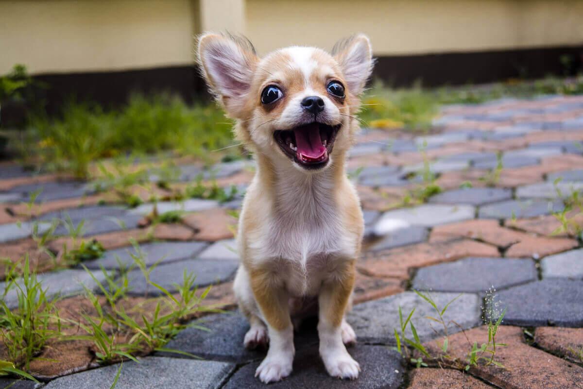 En smilende Chihuahua-hund