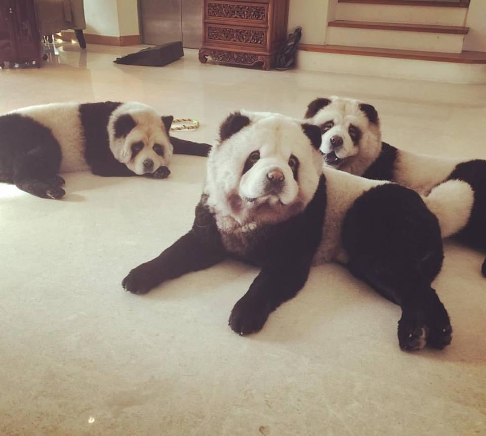 Tre chow chow panda hunder ligger på gulvet