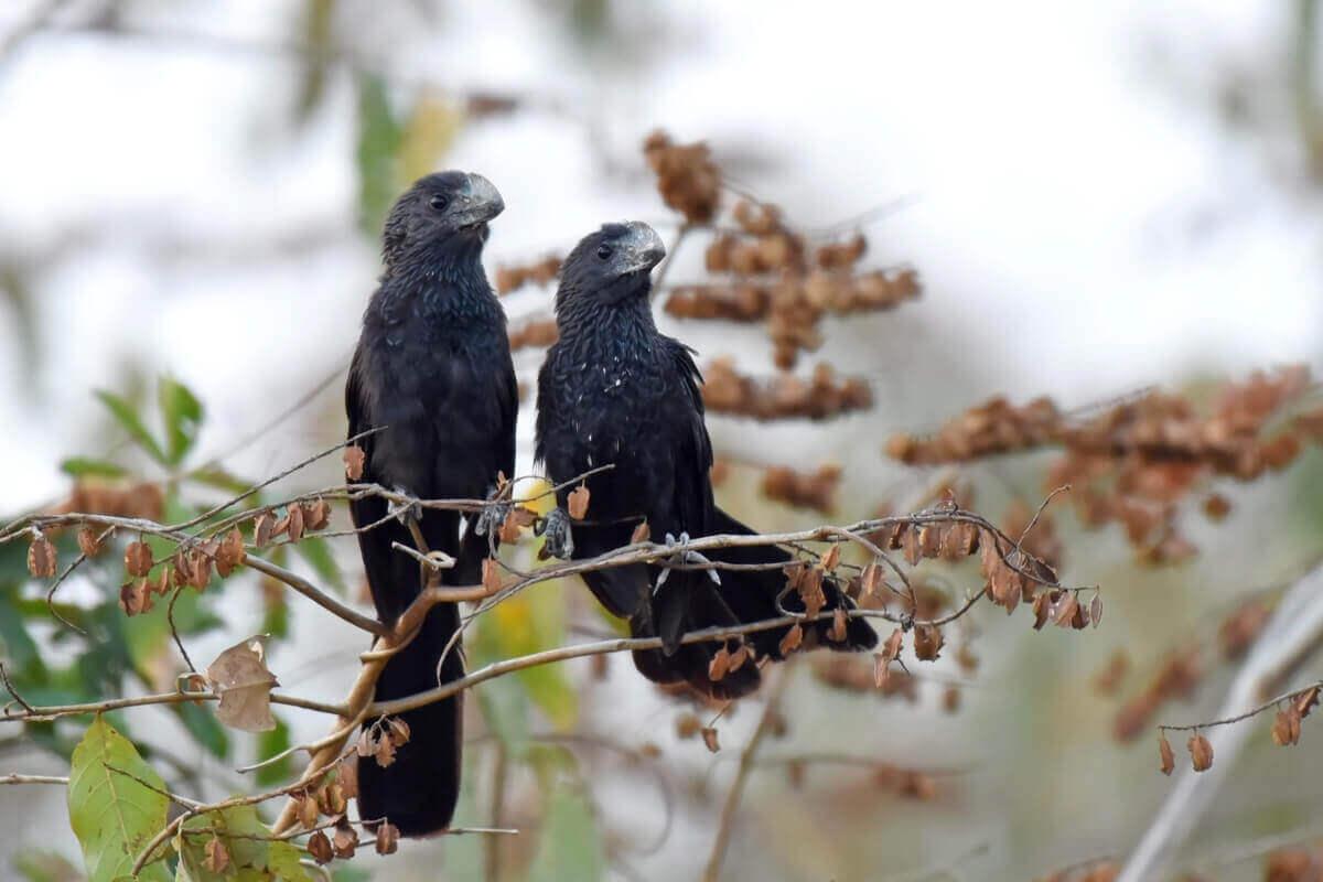 To svarte fugler, glattnebbani sitter på kvister