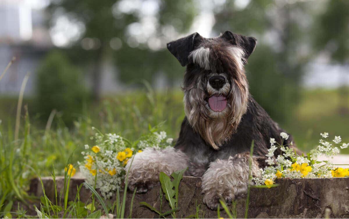 En poserende dvergschnauzer, en av flere hunderaser som sannsynligvis vil stikke av