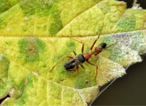 Maurlignende edderkopper: Slekten Myrmarachne