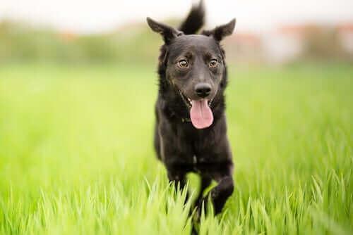 Hvorfor er hunder av blandingsrase unike?