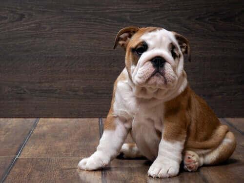 Engelsk bulldog: Alt om denne rasen