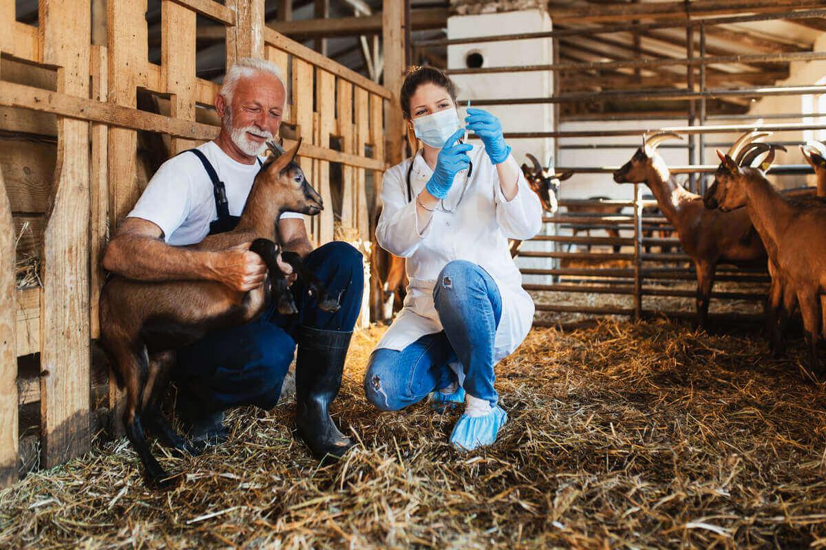 En veterinær som forbereder en injeksjon mens en bonde holder en liten geit
