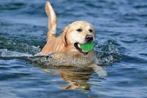 En hund som svømmer med en myk ball