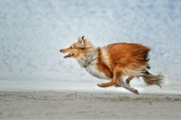 Hvilke hunderaser har størst sannsynlighet for å stikke av?