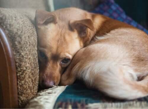Mer enn 72 % av hunder lider av angst