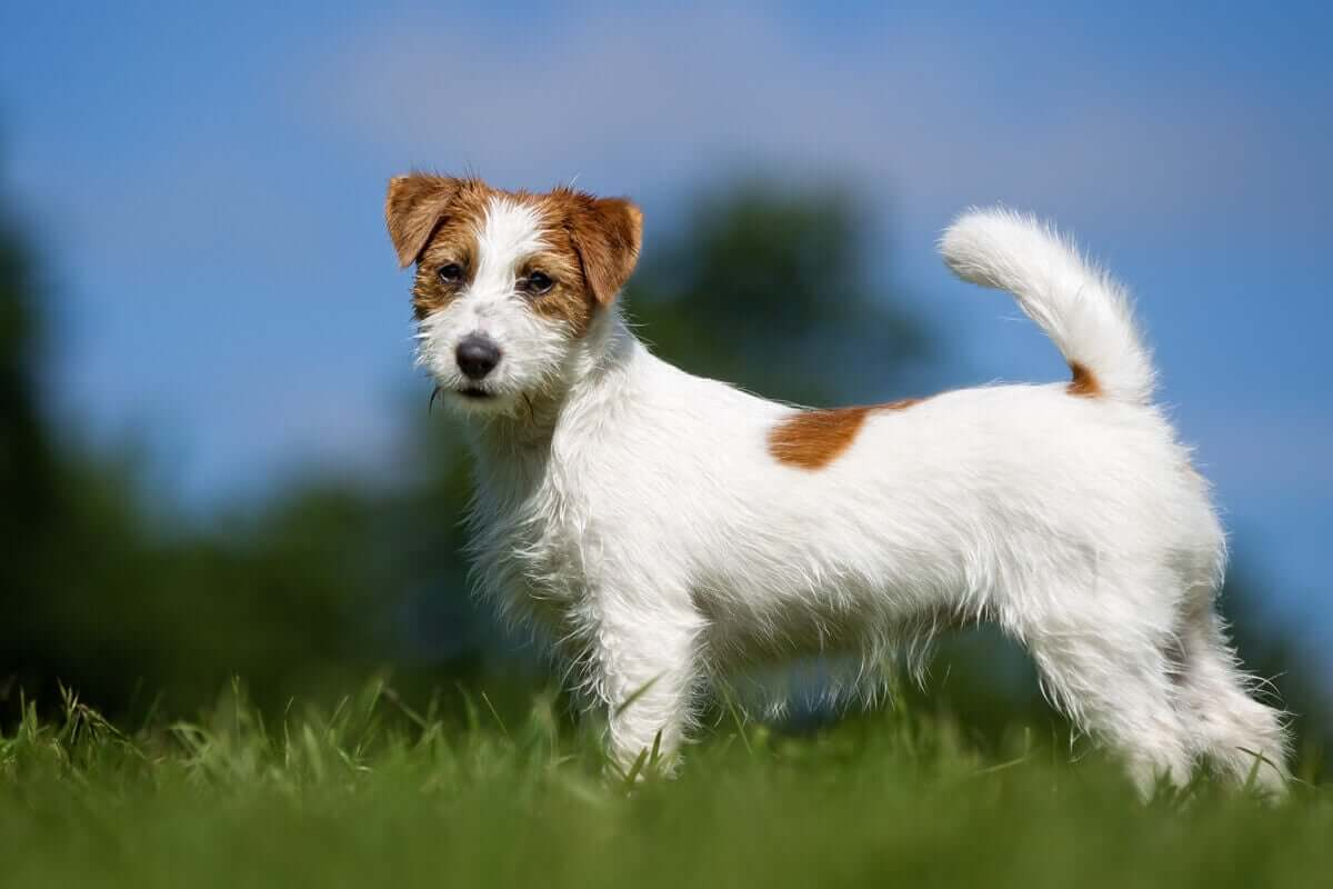 Et bilde av en nydelig Jack Russell terrierhund