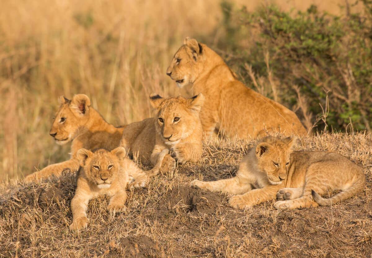 En flokk av løver med unger