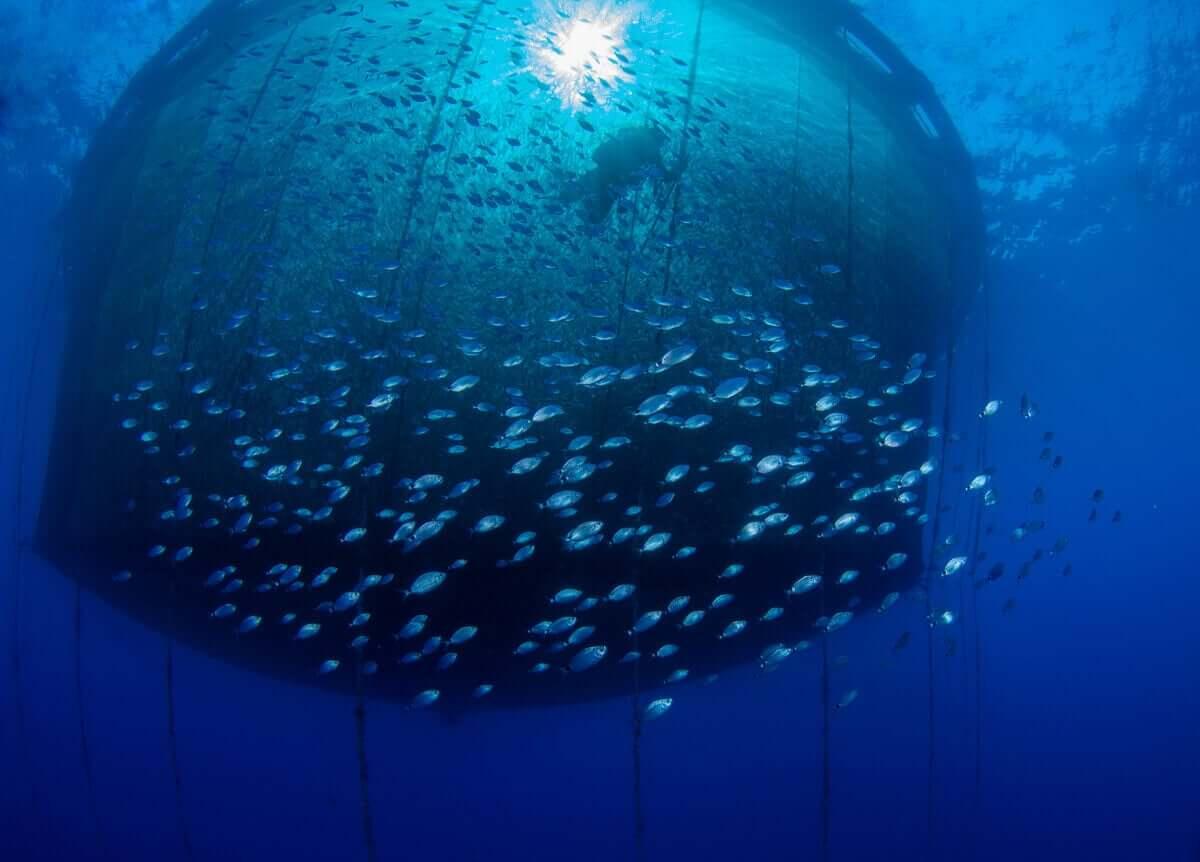 En dykker som svømmer i et trålnett under havet, omgitt av en stim med småfisk