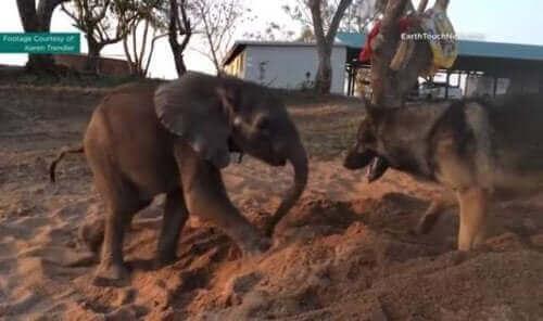 En schæfer og en elefant, et lite sannsynlig vennskap