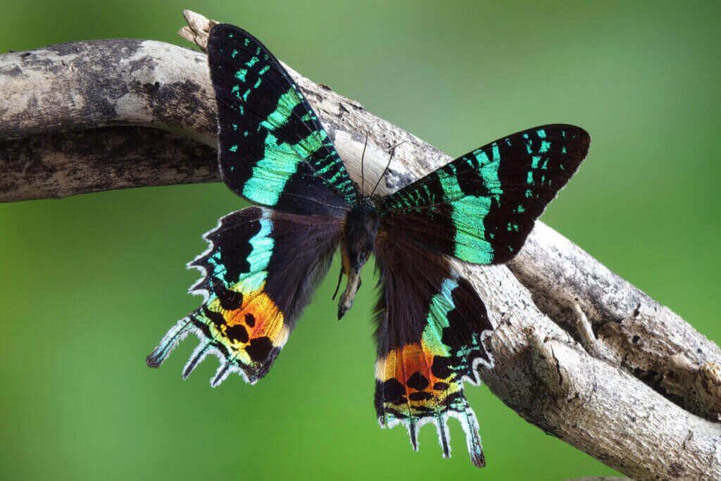 Lær om den vakre sommerfuglen Chrysiridia rhipheus