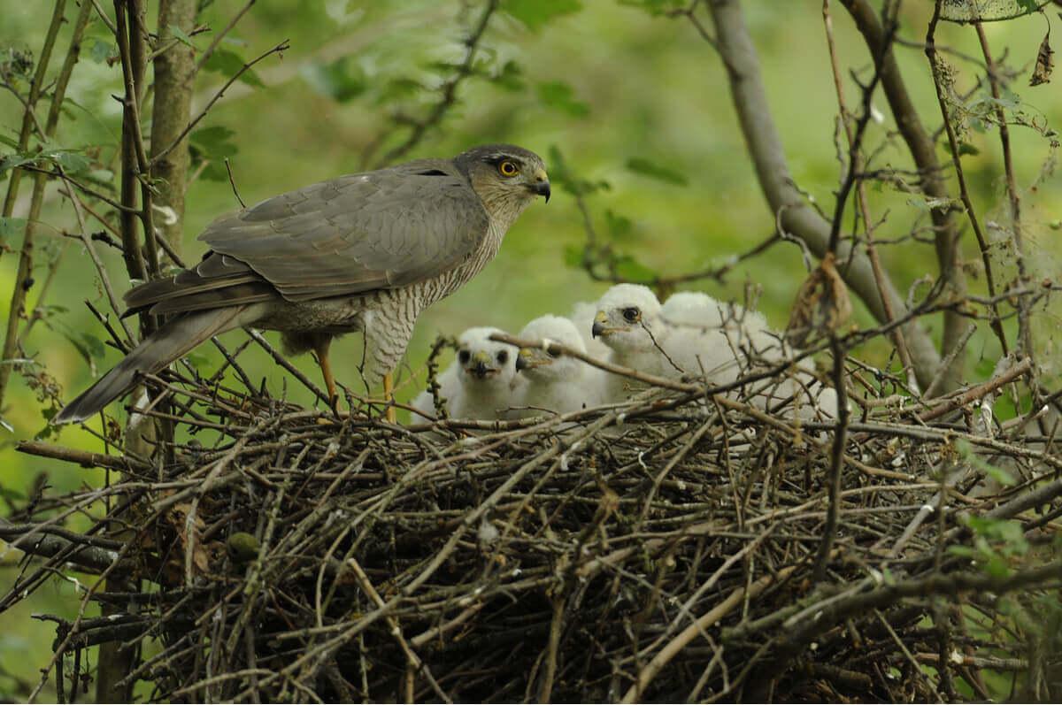 Spurvehauken sitter på kanten av et rede fylt av ungene sine