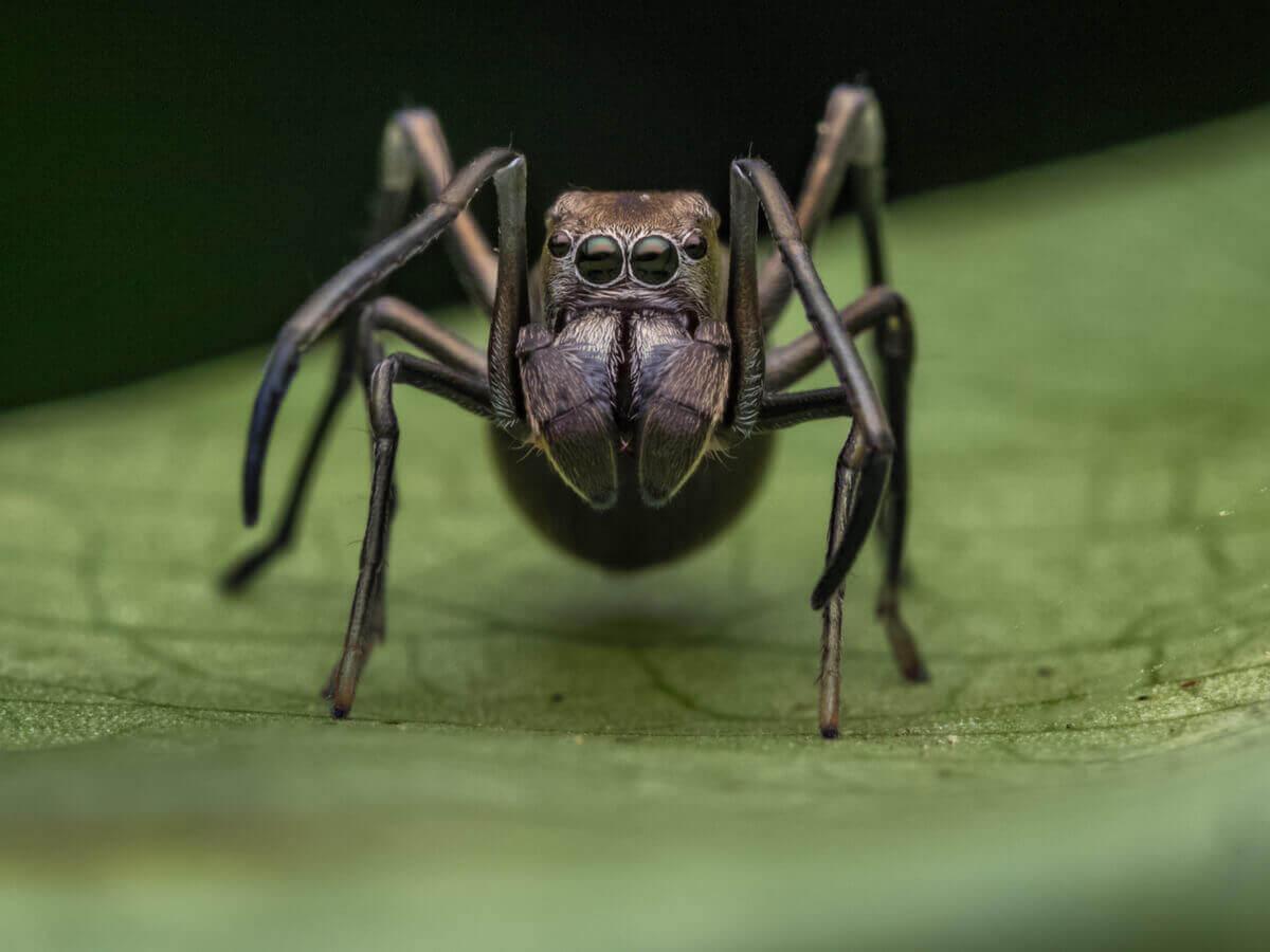 En svart edderkopp som ser ut som en maur.