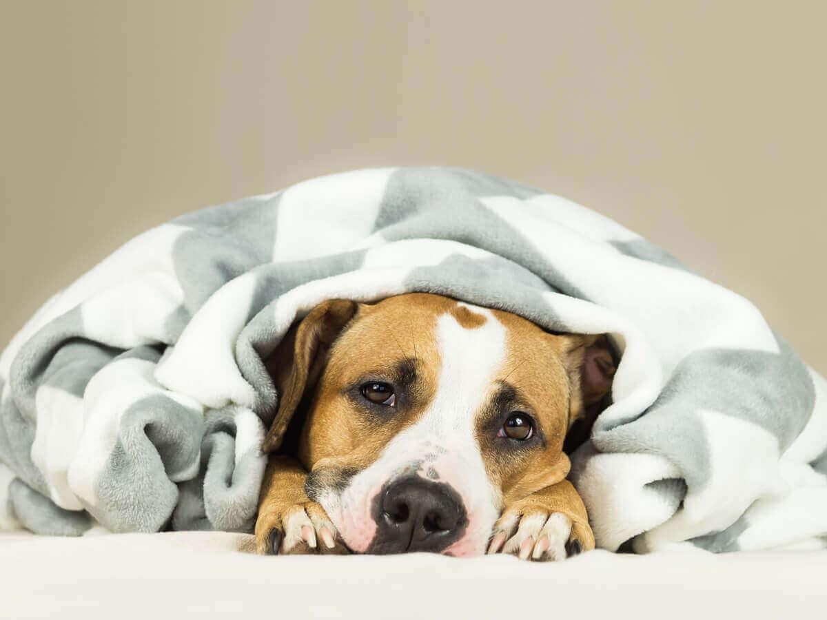 En sliten hund som ligger under et teppe