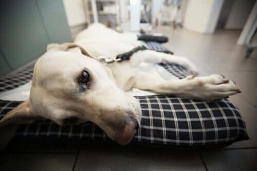 Neosporose hos hunder: Årsaker, symptomer og behandling