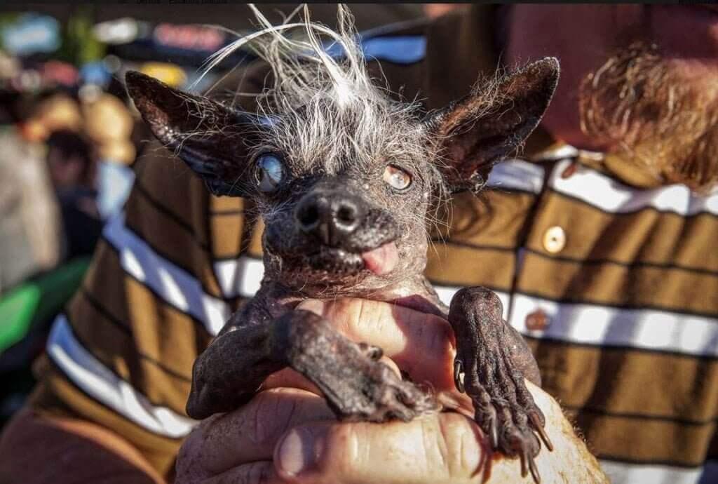 """Konkurransen for stygge hunder - premiering av det """"styggeste kjæledyret"""""""