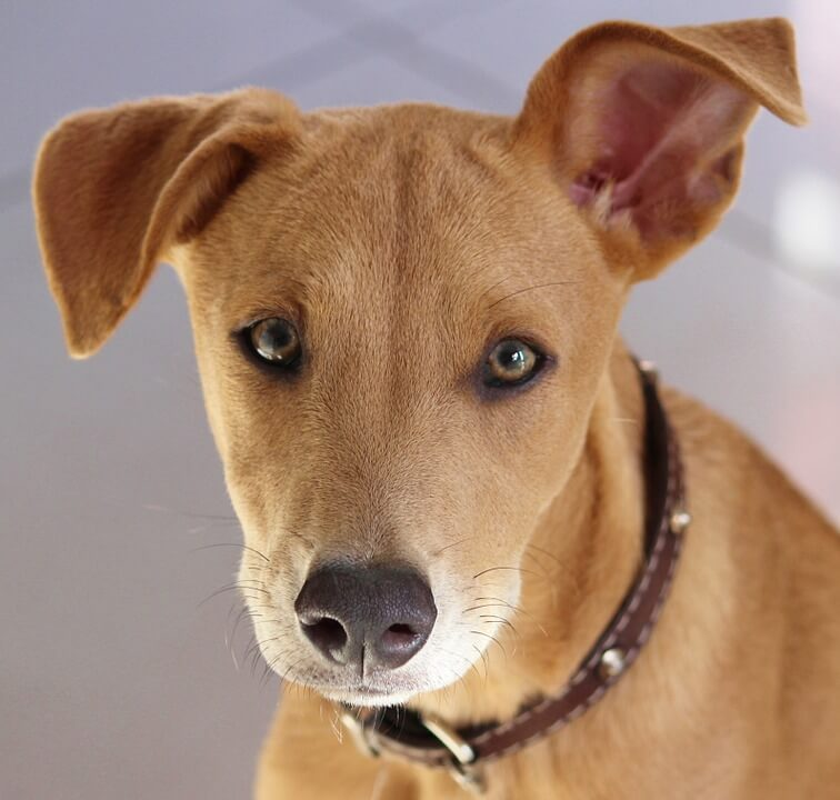 De viktigste afrikanske hunderasene: Africanis