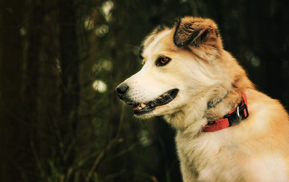 De viktigste afrikanske hunderasene: Aidi
