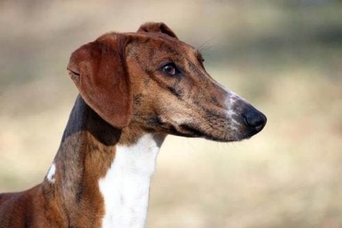 De viktigste afrikanske hunderasene: Azawakh