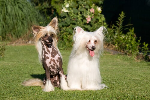 De beste hunderasene for varme klimaer