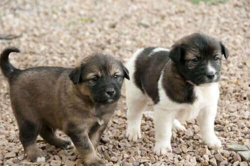 De ni viktigste afrikanske hunderasene