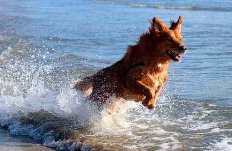 En hund som leker i vannet.