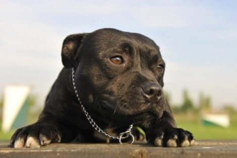 En svart hund som ligger.