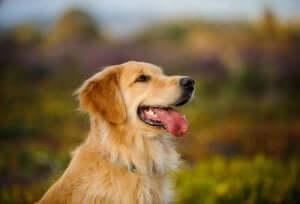 En tilsynelatende fornøyd hund.