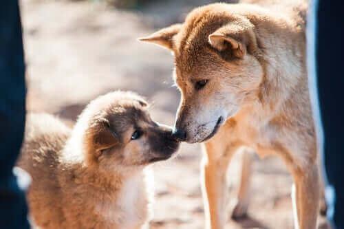 Paring av hunder: Nøklene til vellykket avl