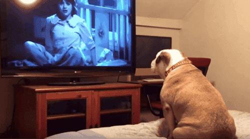 Den engelske bulldogen som er en tilhenger av skrekkfilmer