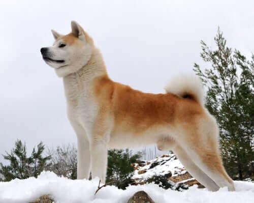 En Akita som står på snødekte fjell