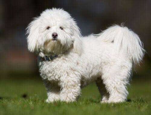 De viktigste afrikanske hunderasene: Coton de Tuléar