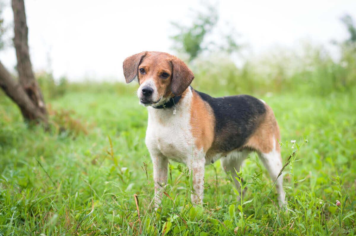 Korthårede hunder kan være mer utsatt for træler